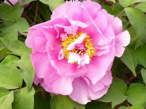 Flower Garden Peony Pink Stamens Flowers Nature