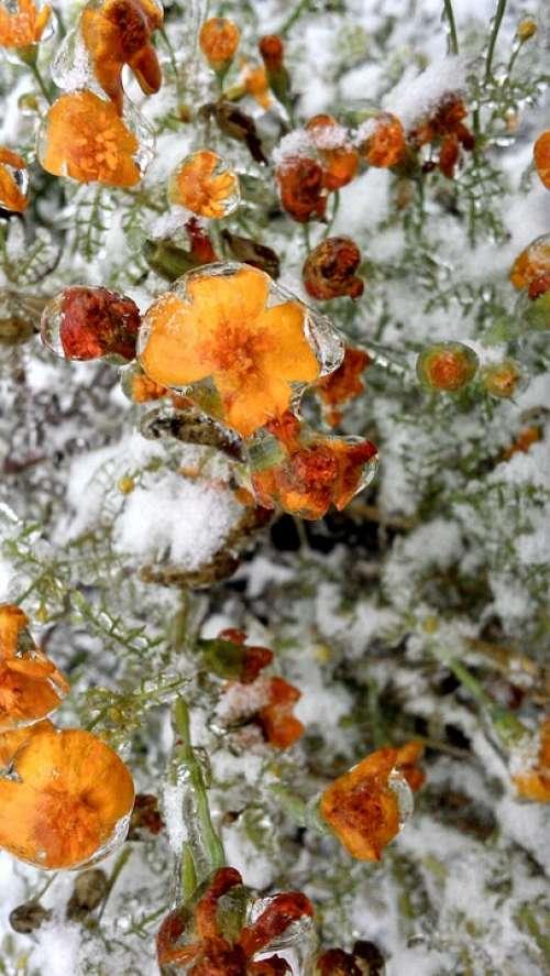 Flower Snow Ice Frozen