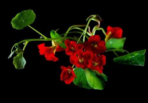 Flower Nasturtium Cress Blossom Bloom Plant Macro