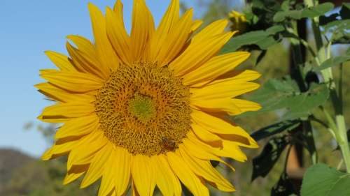 Flower Sunflower Bee Nature Summer Floral Plant