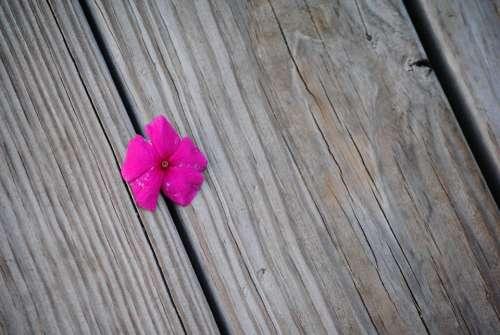 Flower Purple Impatiens Plant Nature Pink Blossom