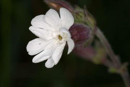 Flower White Macro Wild Plant