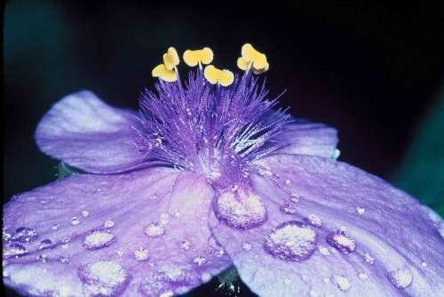 Flower Dew Petals Macro Close Up Blossom Bloom