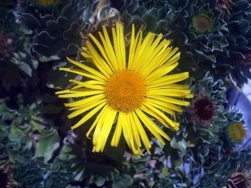 Flower Yellow Sun Nature Yellow Flower Flowering