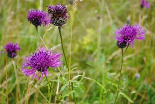Flower Thistle Have