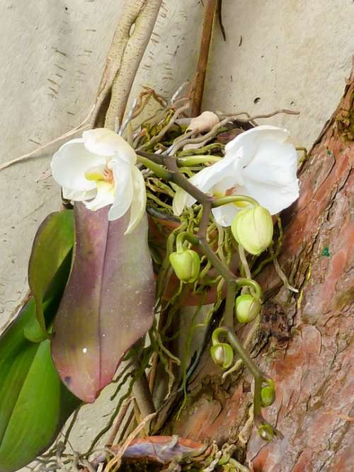 Flower Orchid Blossom Bloom Plant White Tropical