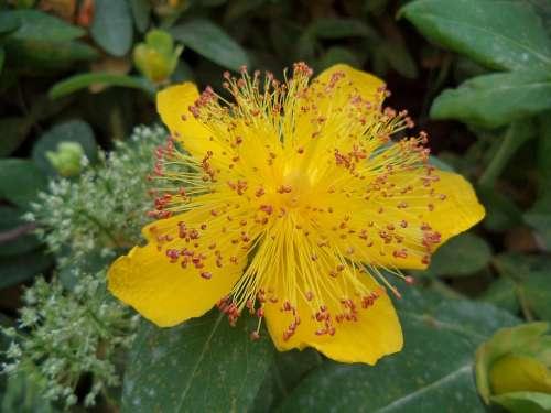 Flower Shrub Yellow Summer Yellow Flower