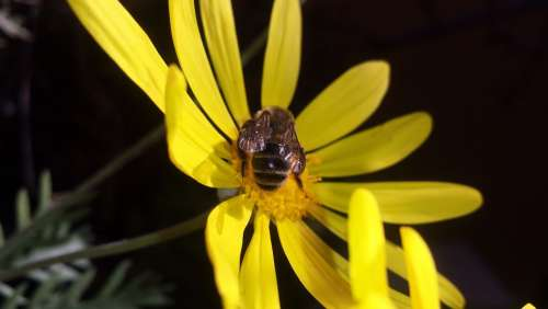 Flower Daisy Bee Obrera Honey Yellow