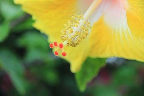 Blossom Bloom Pistil Pollen Flower Hibiscus