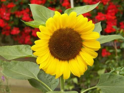 Flower Sun Nature Yellow Blossom Bloom Sunflower