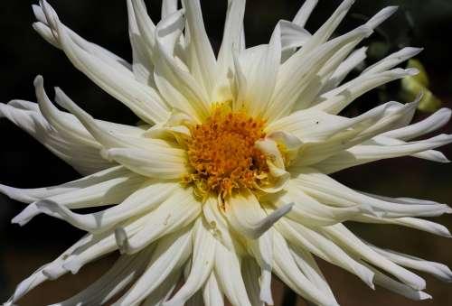 Flower Dahlia Blossom Bloom Flower Garden White
