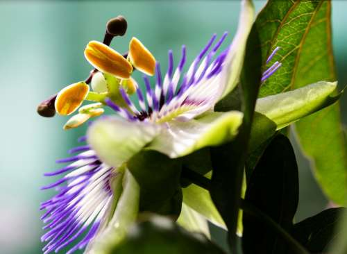 Flower Blossom Bloom Passion Flower Close Up Macro