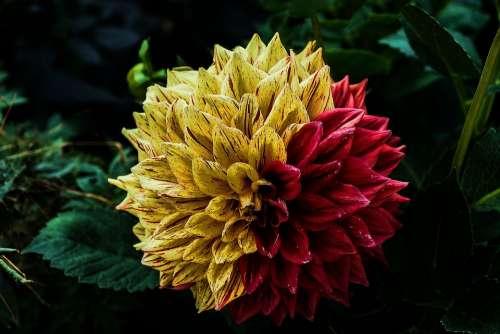 Flower Dahlia Flower Garden Ornamental Flower