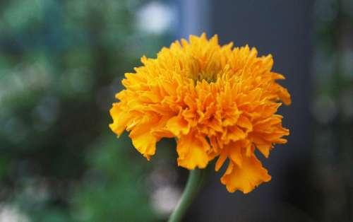 Flower Marigold Yellow Vietnam Asia