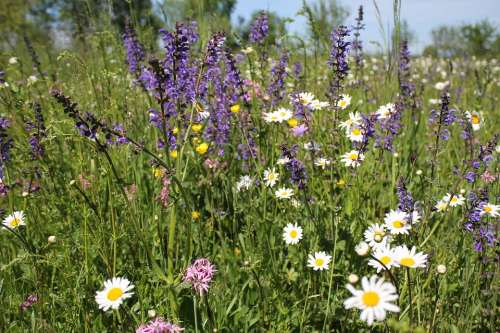 Flower Meadow Summer Nature Meadow Daisies