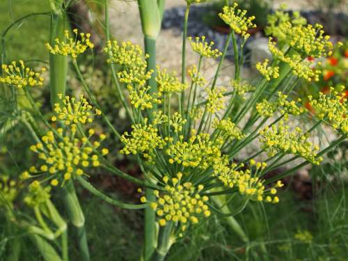 Flowering Fennel Flower Blossom Bloom Garden