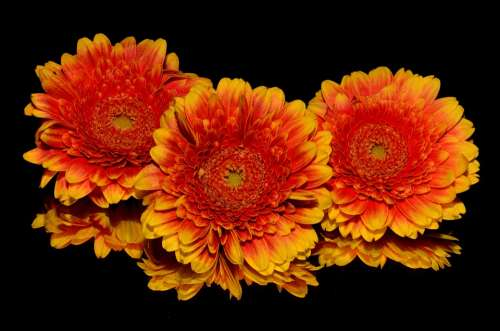 Flowers Orange Blossoms Blooming Yellow Isolated