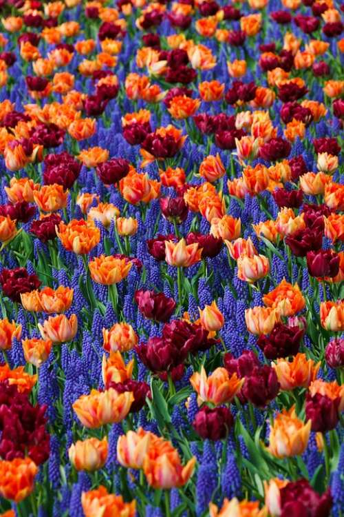 Flowers Hyacinths Bloom Background Color Colorful