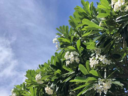 Flowers Hawaii Tropical Plumeria Sky