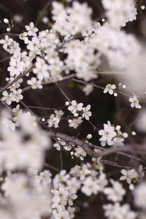 Flowers Apple Tree White Branch Tree Spring Bloom