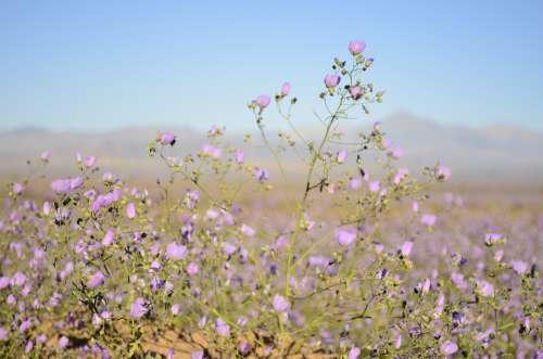 Flowers Desert Lilac Flower Nature Garden