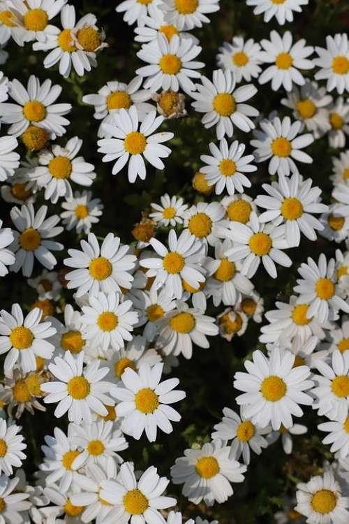 Flowers White Flower Plants Nature White Flower
