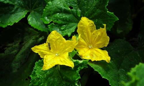Flowers Cucumbers Vegetables Flourishing Nature