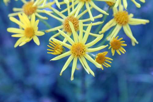 Flowers Yellow Blue Nature