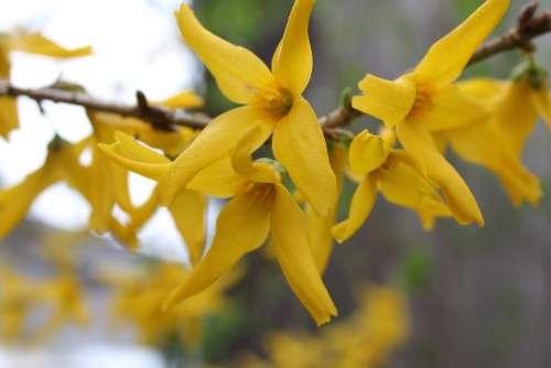 Flowers Yellow Bush Flower Summer Garden Spring