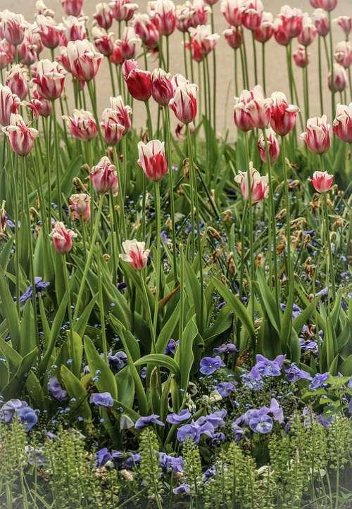 Flowers Field Of Flowers Tulips Flower Meadow