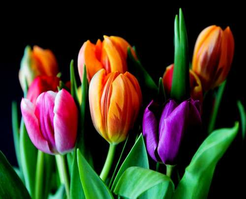 Flowers Tulips Bouquet Cut Flowers Colorful Color
