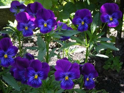 Flowers Nature Purple Flowers Beauty Dacha Garden
