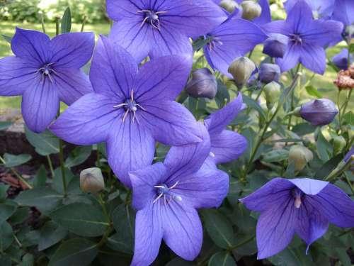 Flowers Purple Platycodon Ballonklokje