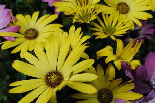 Flowers Spanish Daisies Yellow Flowers