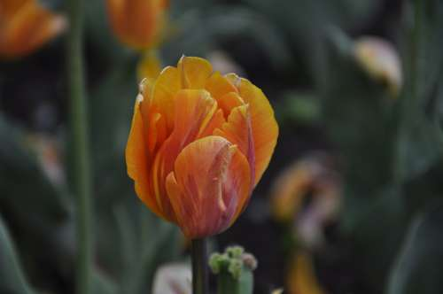 Flowers Flora Tulips Burgas