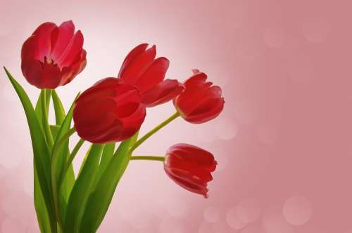 Flowers Tulips Valentine Romance Bouquet Pink Red