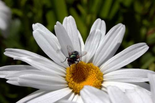 Fly Marguerite Flora Nature Summer Insect Blossom