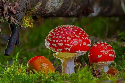 Fly Agaric Mushroom Red Fly Agaric Mushroom Autumn