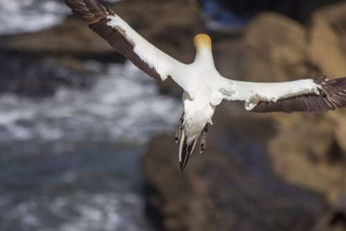 Flying Bird Sea Gannet White Feathers Wings