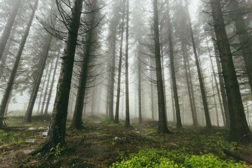 Fog Forest Nature Trees Woods