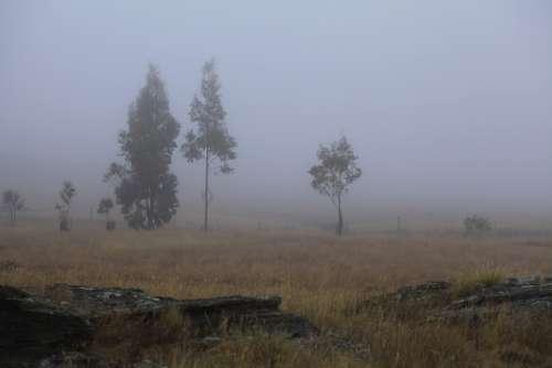 Fog Gum Trees Early Light Morning Eucalyptus
