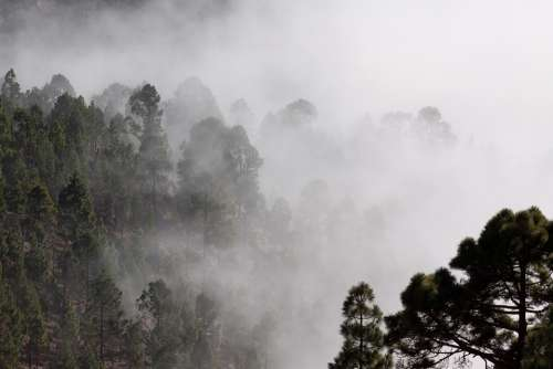 Fog Pine Trees Mysterious Landscape Invisible