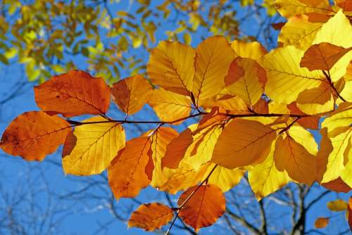 Foliage Beech Leaves Fall Bright Colors Light