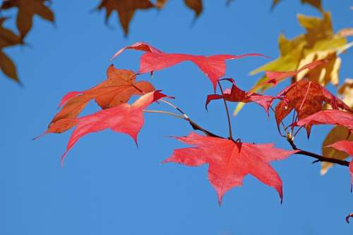 Foliage Nature Fall Leaves Contrast Color Red