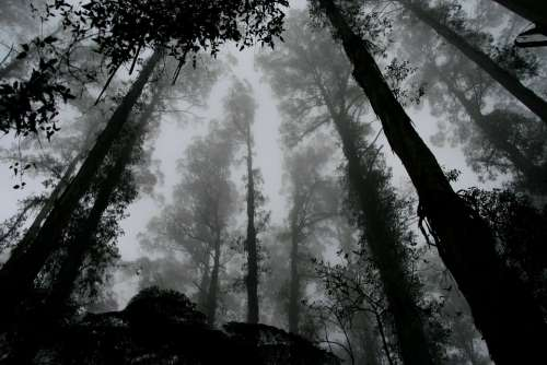 Forest Foggy Misty Trees Perspective Sky Foliage