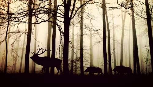 Forest Fog Hirsch Wild Boars Nature Animals Trees