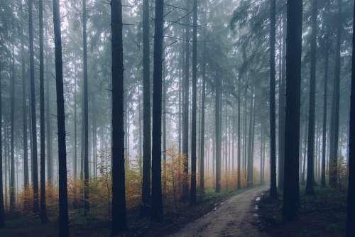 Forest Path Conifer Environment Fall Fog Haze