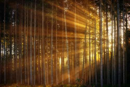 Forest Sunlight Sunbeam Rays Light Background