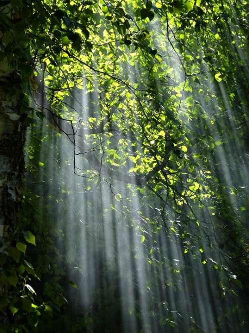 Forest Sunbeams Trees Sunlight Light Foliage