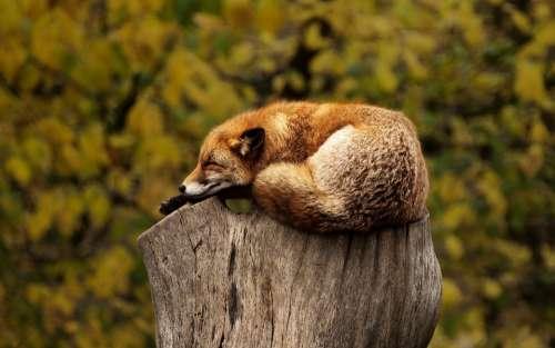 Fox Sleeping Resting Relaxing Red Animal Wild